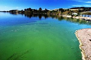 Blue-green algae in Lake Waihola, Otago