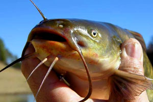 Bullhead Catfish (Ameiurus nebulosus)
