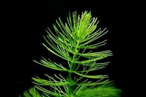 Hornwort (Ceratophyllum demersum)