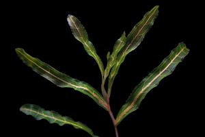 Curly Pond Weed (Potamogeton crispus)